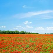 Stock Photo of poppy field