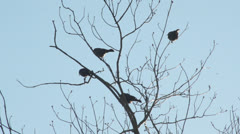 Sparrows in Tree - stock footage