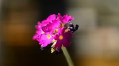 Pink primrose flower Stock Footage