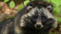 Raccoon dog Stock Footage