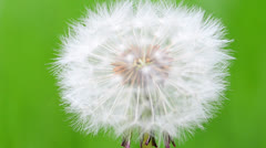 Dandelion seed head Stock Footage