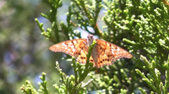 Painted Lady Butterfly on Juniper Branch, slow motion. Stock Footage