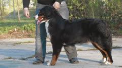 Berner Sennenhund dog Stock Footage