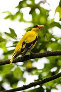 Bird : Black-naped Oriole Stock Photos