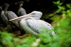 Bird : Pelicans Stock Photos