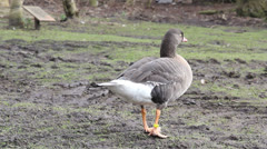 Lesser white fronted goose Stock Footage