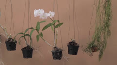 orchid flowers hanged in pots - stock footage