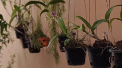 Orchid flowers hanged in pots Stock Footage