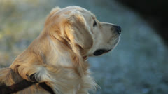 A golden retriever sniffing - stock footage