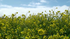 Bright yellow Blooming Canola field at spring. California, USA. - stock footage