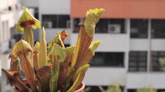 Carnivorous pitcher plant in pot Stock Footage