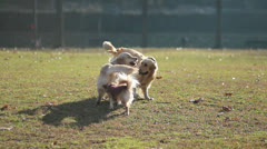 Three dogs playing Stock Footage