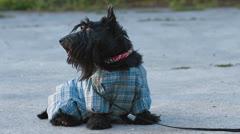 Scottish terrier dog Stock Footage