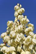 Closeup yucca gloriosa flower Stock Photos