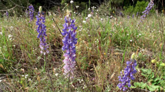 Wild blooming purple lupins. - stock footage