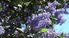 Ceanothus Ray Hartman (California mountain lilac) flowers. Stock Footage