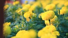 Focusing of marigold garden Stock Footage