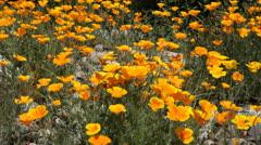 California Poppy blowing in a gentle breeze, 997  Stock Footage