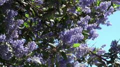 Ceanothus Ray Hartman (California mountain lilac) flowers. Stock Footage