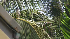 Green Heron on coconut palm tree Stock Footage