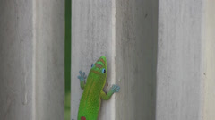 Green gecko, walking, climbing Stock Footage