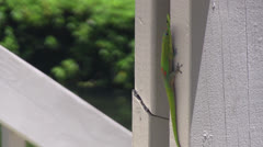 Two geckos on a post Stock Footage