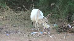 India Chettinad cow eats trash s1 Stock Footage