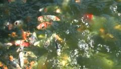 BABY KOI fish feeding in hatchery farm pond HD 1080 high definition - stock footage