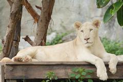 albino lion lying - stock photo