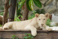 Albino lion lying Stock Photos