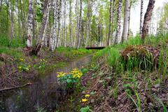 Marsh marigold flowers in scandinavian forest Stock Photos
