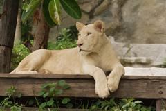 albino lion lying - stock photo