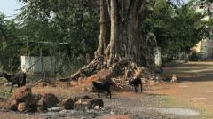 India Tamil Nadu Chettinad goats forage under large tree Stock Footage