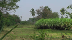 India Tamil Nadu sugar cane and palm trees Stock Footage