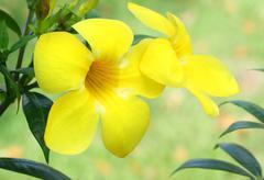 Allamanda yellow flower Stock Photos