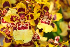 oncidium hybrid orchid - stock photo