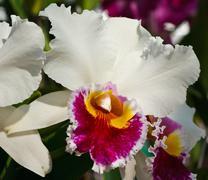 cattleya worawuth, thai hybrid orchid - stock photo