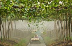 Agriculturist watering grapes in garden Stock Photos