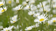 Marguerite Stock Footage