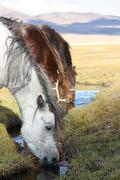 horses drinking water in the mongolian prairie - stock photo