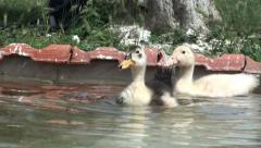Small ducks in the water (1) Stock Footage