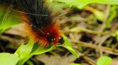 Hairy caterpillar Stock Footage