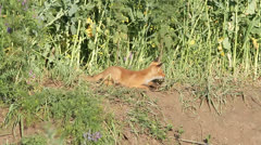 A baby fox around his hole - movie taken in the wild Stock Footage