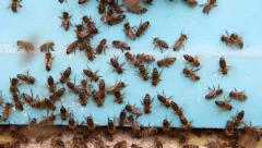 Bees preparing to swarm. Tilt down shot Stock Footage