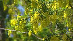 Golden Rain - Laburnum anagyroides - waving in wind Stock Footage