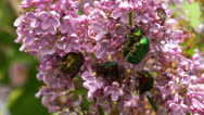 Stock Video Footage of Rose chafer
