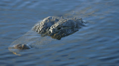 Alligator waiting for the next meal Stock Footage