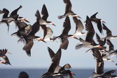 Flock of black skimmers in flight Stock Photos