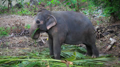 A young asian elephant eats Stock Footage