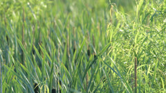 Swamp grass blowing in the breeze Stock Footage